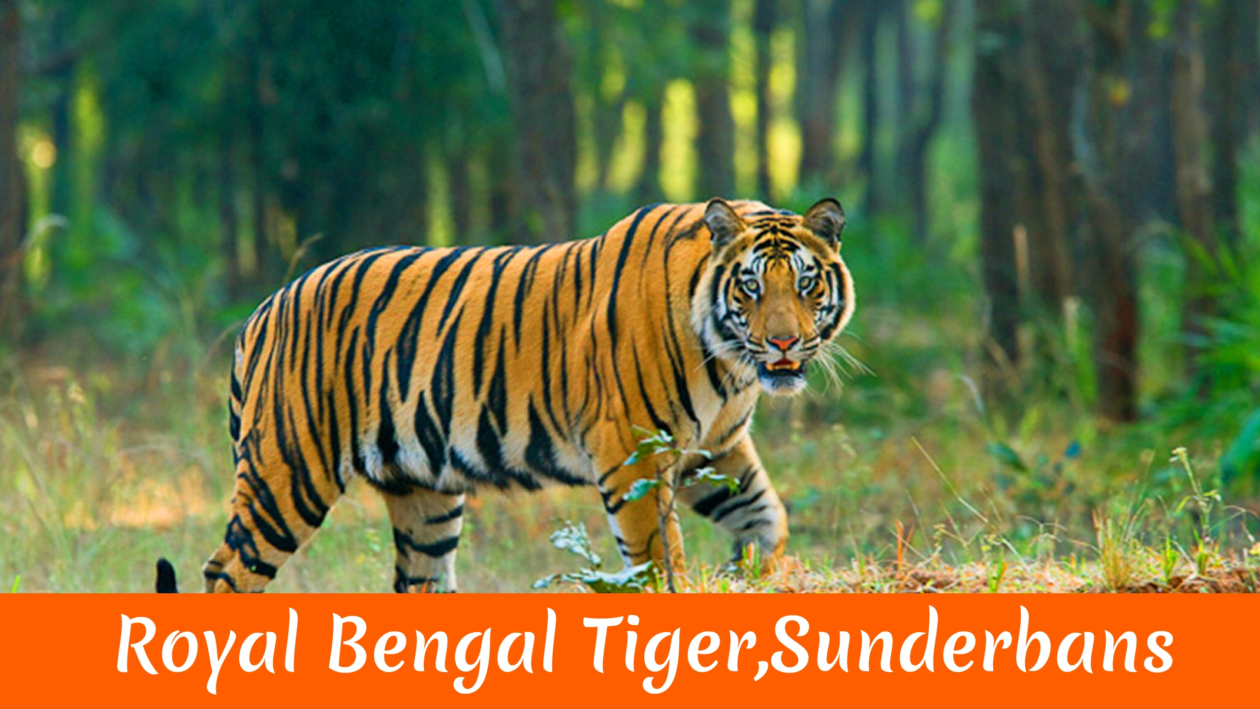 Royal Bengal Tiger Sunderbans